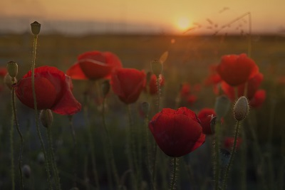 Red poppy flower at sunset